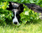 Border Collie Hiding in Grass